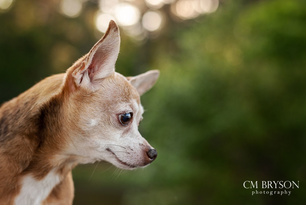 Fawn chihuahua profile photo with a soft green forest background and glows of sunlight