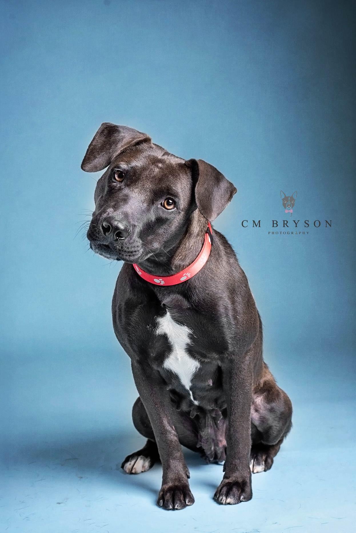 Cricket - Lab or Heeler Mix - Adoptable Dog