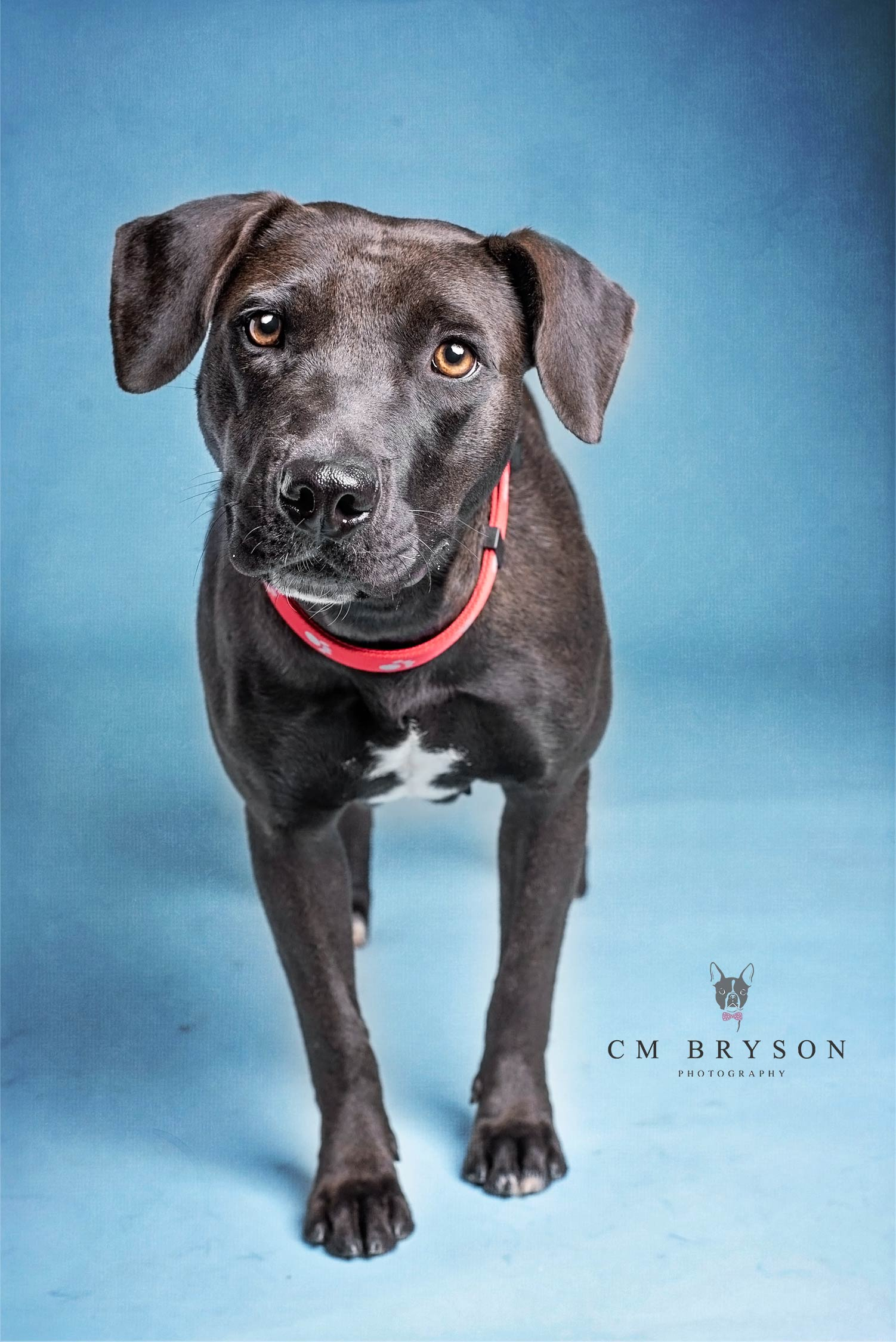 Cricket - Lab or Heeler Mix - Adoptable Dog