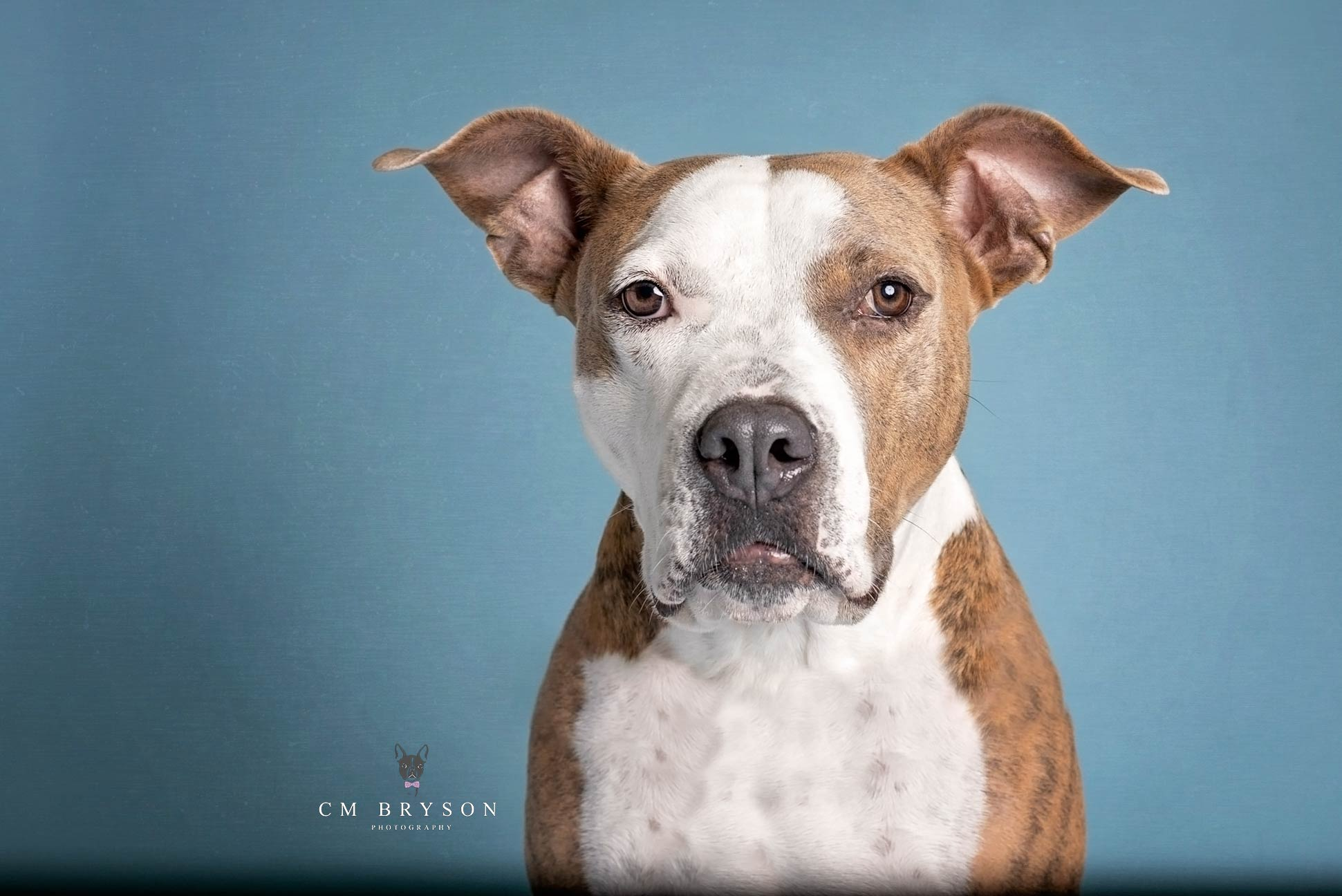 Pit Bull Terrier - Pinky - Adoptable Dog