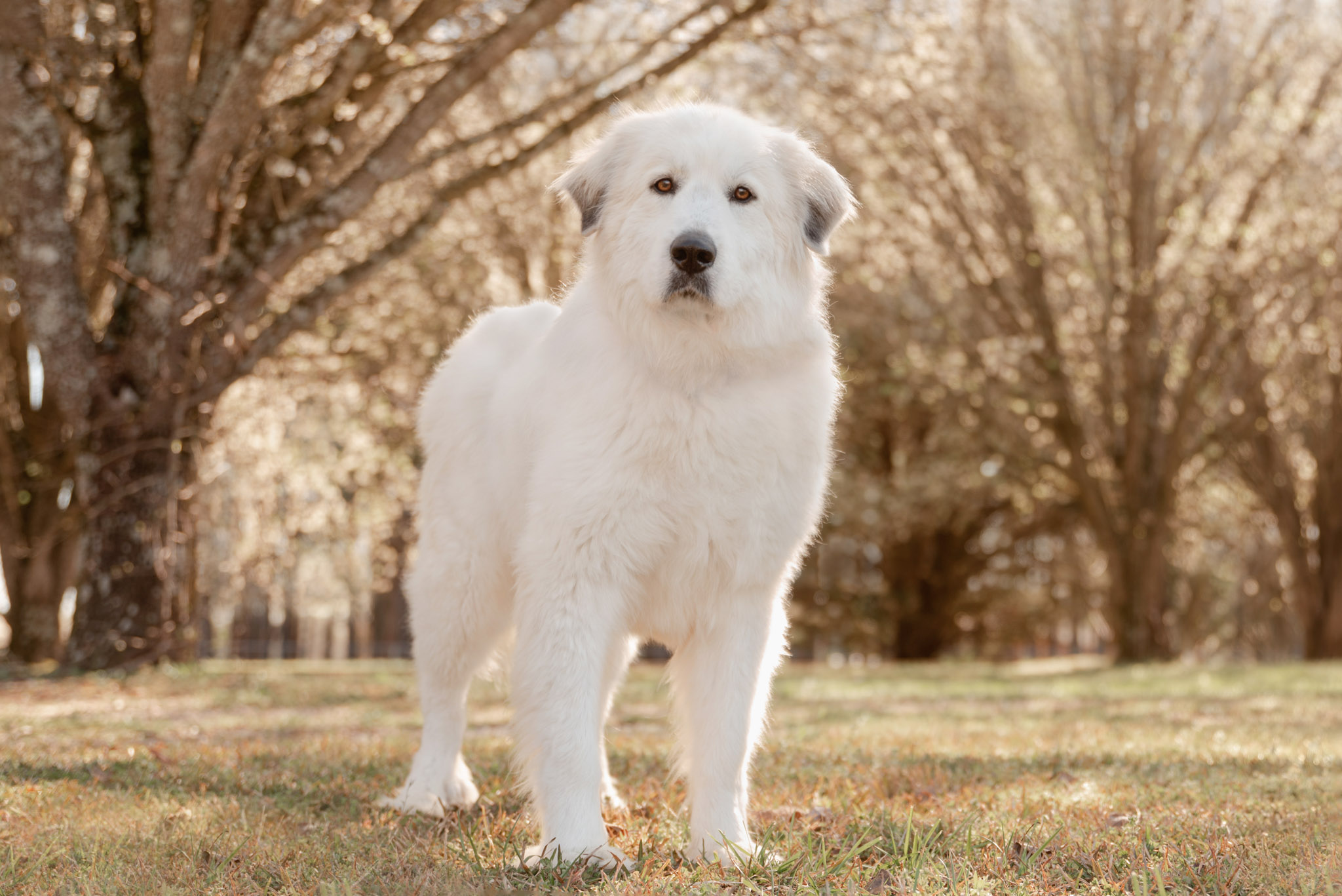 Great Pyrenees in pear blossoms