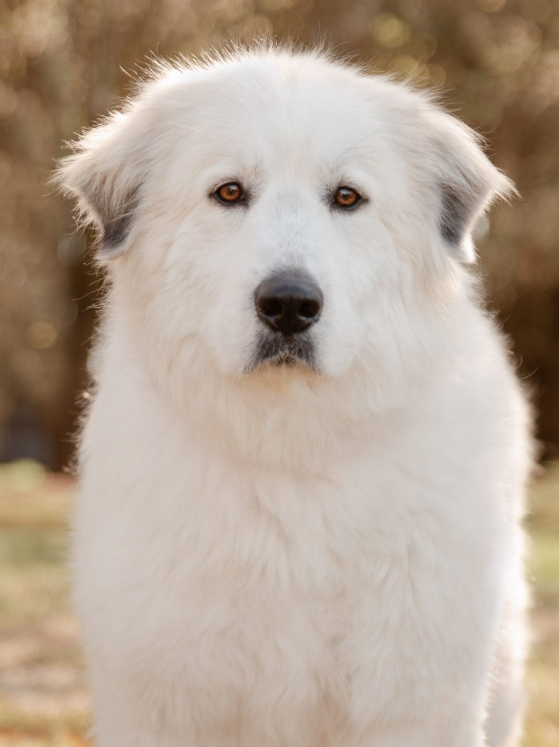 Great Pyrenees dog from Madison Georgia