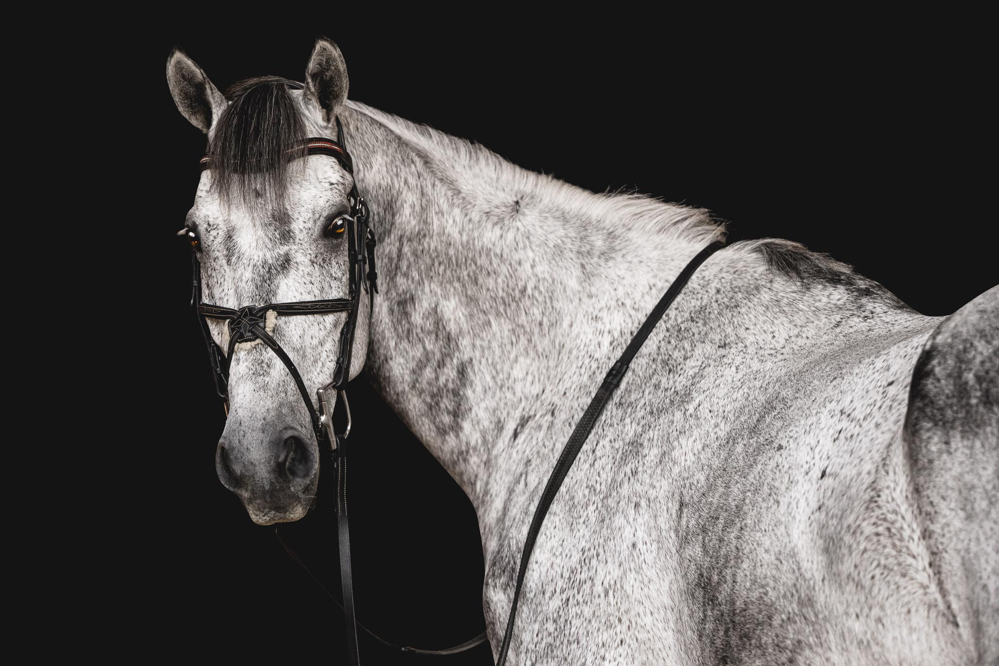 Equine black background portraits with Atlanta to Athens Georgia equine photographer.