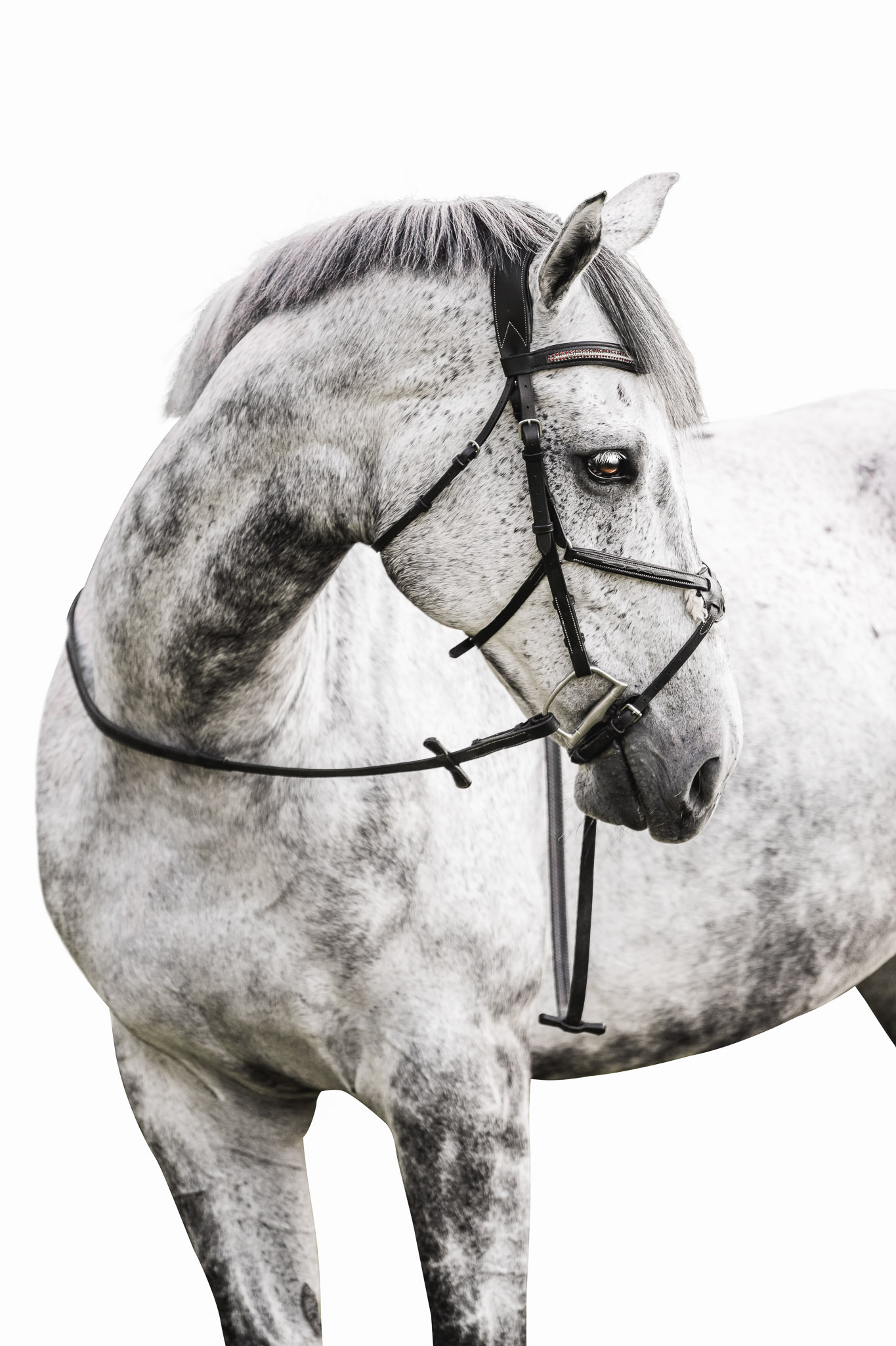 Studio inspired equine photography serving the Athens area horse community with white background or black background equine portraits.