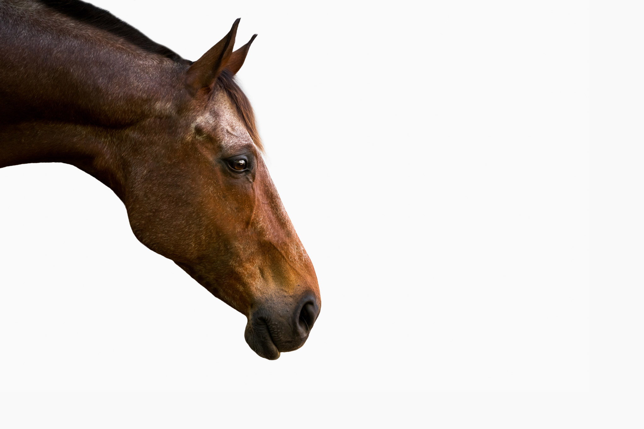 Studio style equine images on simple black or white backgrounds are timeless, classic, and dramatic images that turn your horse into art.