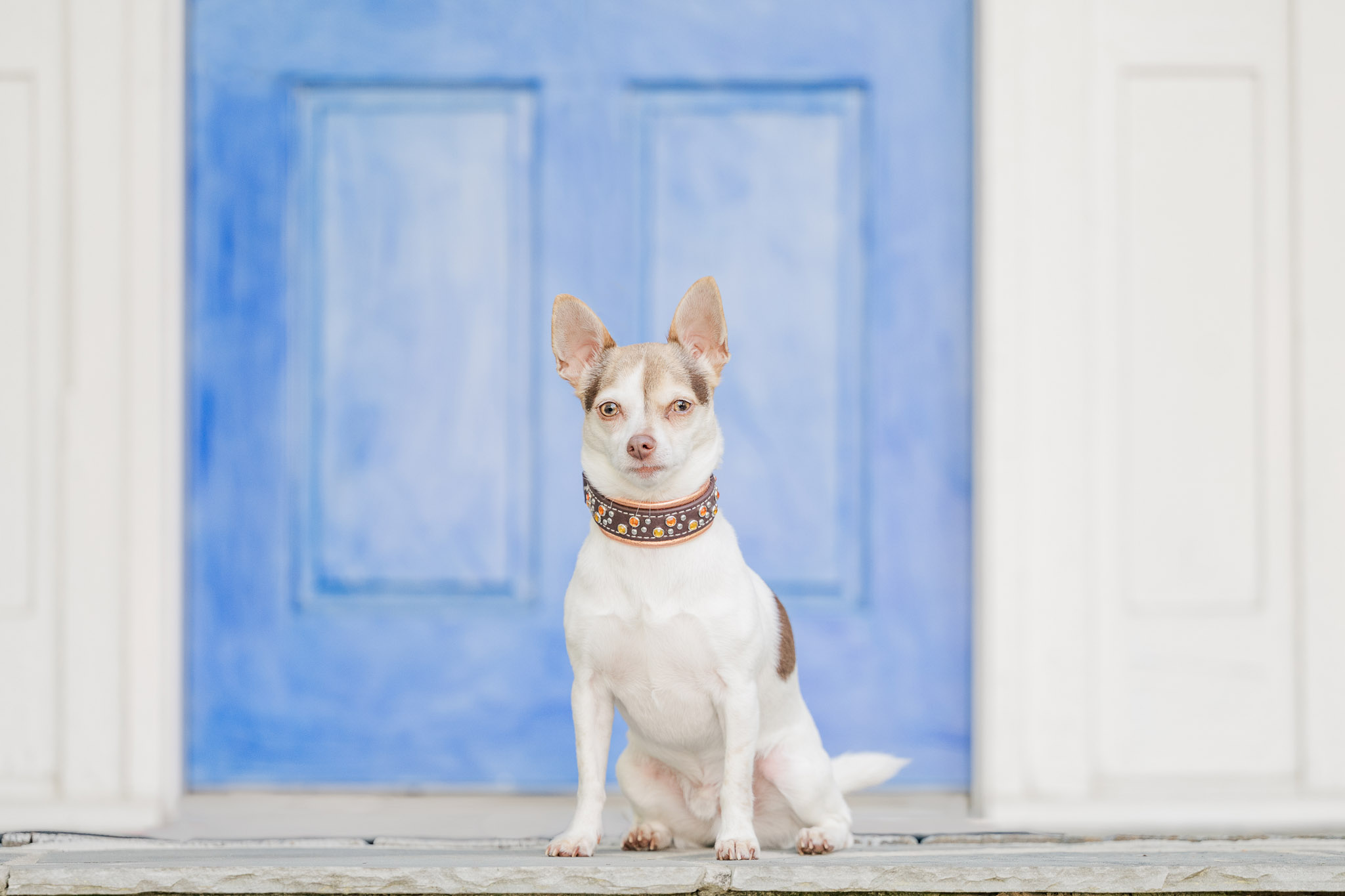 The bold blue door of dog friendly Roswell, Georgia's Raiford Gallery makes a vibrant back drop during a pet photography session.
