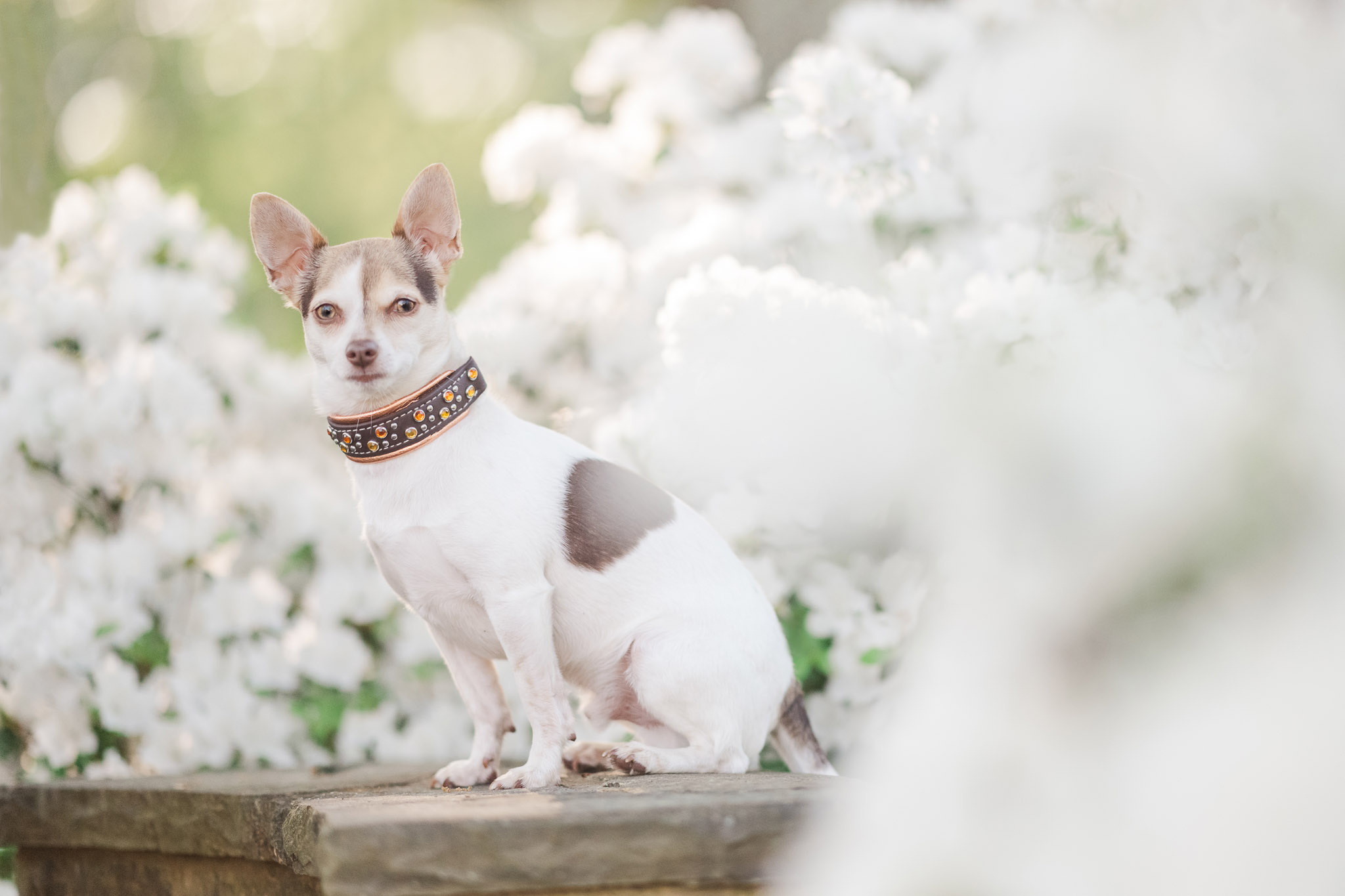 Even urban locations can have hidden pockets of beautiful natural beauty. Atlanta pet photographer takes you behind the scenes at a dog photo shoot in downtown Roswell, Georgia.