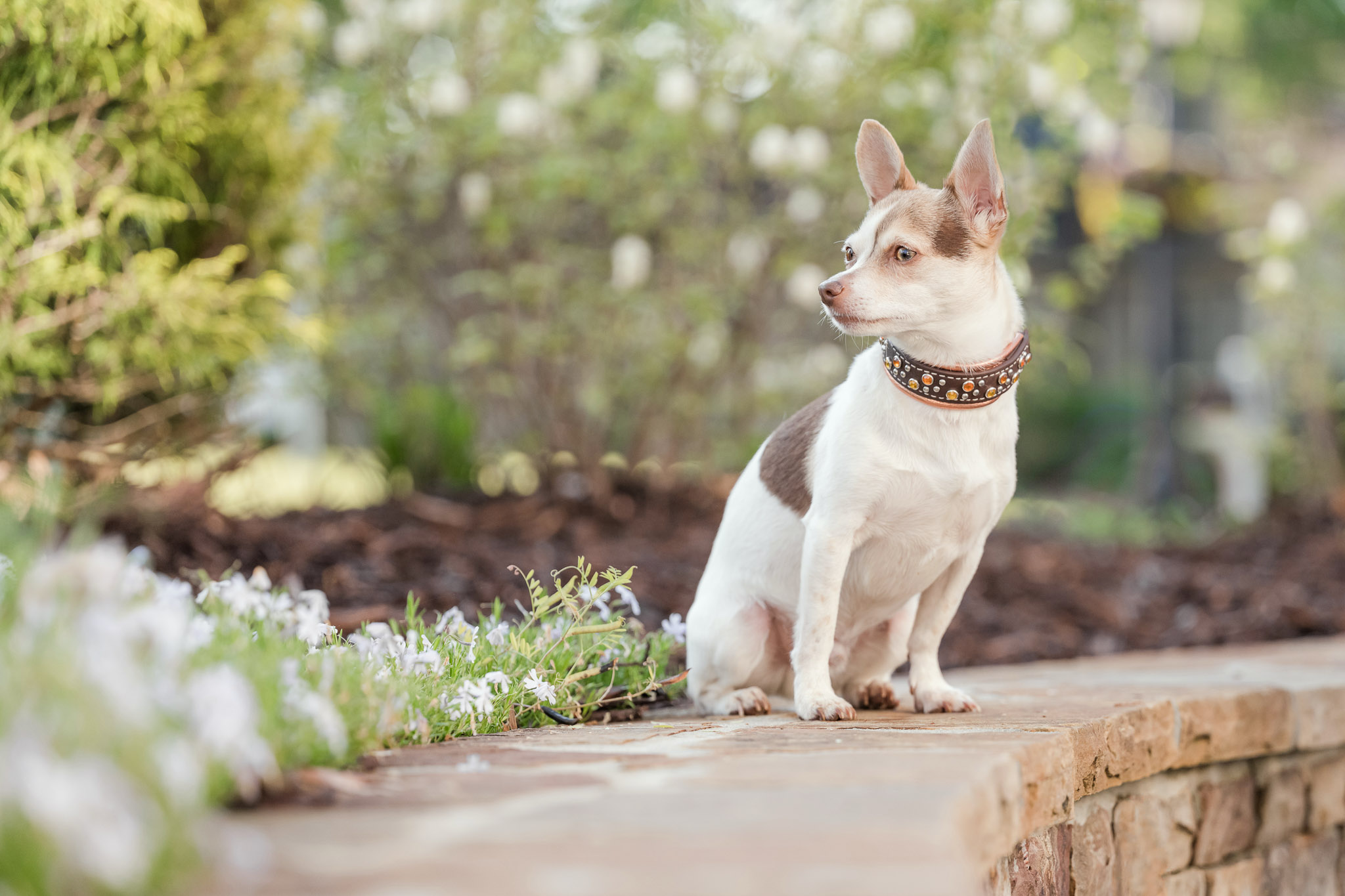 Atlanta pet photographer finds landscaped floral beds in dog friendly Roswell, Georgia.